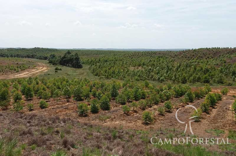 Campo Forestal
